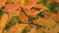 Fall Maple Tree Twig video