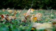 Fallen leafs video