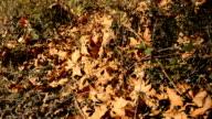 Fallen Leaves in Autmn video
