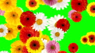 Falling Gerbera Daisy On Green Screen video