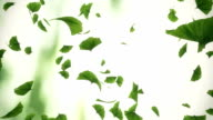 Falling gingko leaves - looped animation video