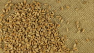Falling grains of wheat on a rotating cloth burlap video