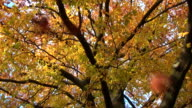 Falling leaves in fall - Baum im Herbst video