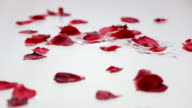 Falling rose petals in pure liqud surface video