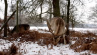 Fallow Deer feeding in the snow video