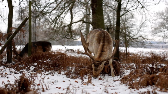 Fallow Deer feeding in the snow video