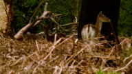 Fallow Deer thinking in the forest video