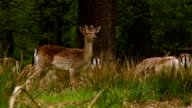 Fallow Deers at a peaceful afternoon video