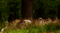 Fallow Deers meeting at the big tree video