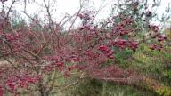false medlar bush, also known as dwarf whitebeam (Sorbus chamaemespilus) with berries. video