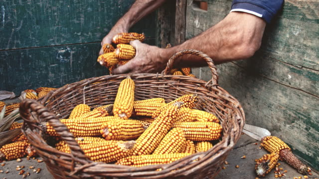 SLO MO Famers putting corn cobs in the basket video