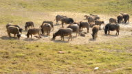 Family buffalo. video