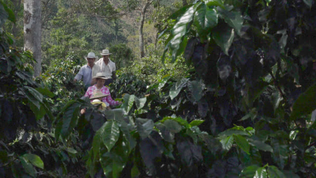 Family farmers collecting coffee beans video