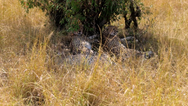 Family Of 3 Cheetahs Hiding In The Shadows Of The Bush From The Scorching Sun video