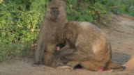 Family of baboons video