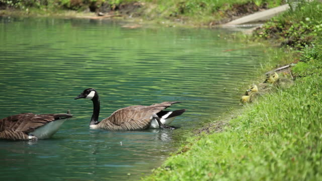 Family of Geese video