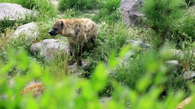 Family of hyenas video