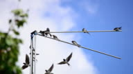 Family of martlets sitting on the TV antenna video