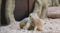 Family of meerkat video