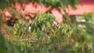 family of Red-whiskered bulbul on the longan branch video