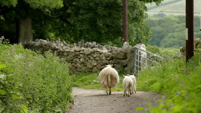 Family of Sheep - Lake District, England - Still Shot video