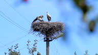 Family of storks. video