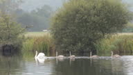 Family Of Swans On River Dee video
