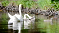 family of swans on the lake video