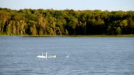 Family of Trumpeter Swans Swimming in a Forest Lake video
