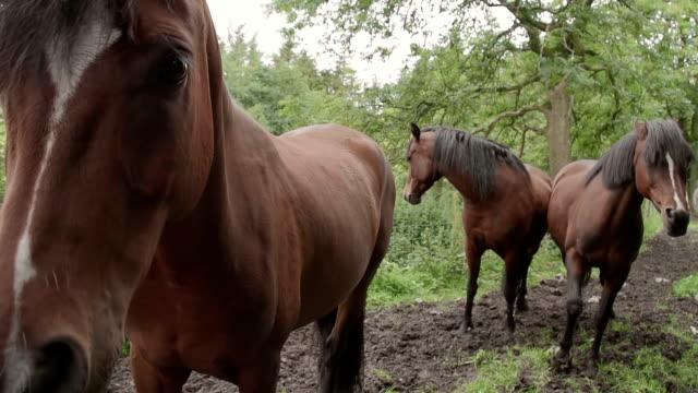 Family Of Welsh Cob Horses video