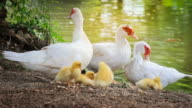 Family of white ducks resting near the canal. video
