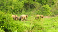 Family of Wild Elephants video