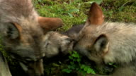 Family of wolves video