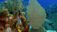Fan Coral Caribbean Reef Scene video