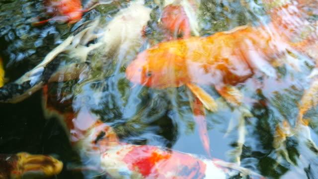 Fancy Carp fish swimming in pond video
