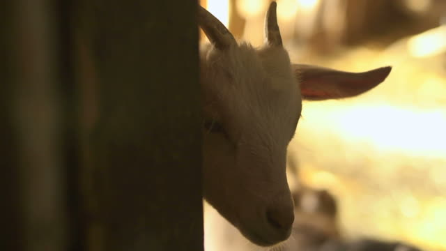 Farm animals, group of young goats in stables video