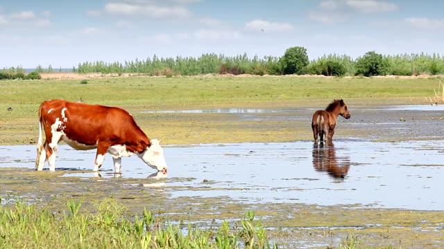 farm animals on river video