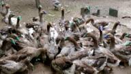Farm for breeding geese video