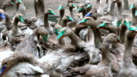 Farm for breeding of domestic geese video