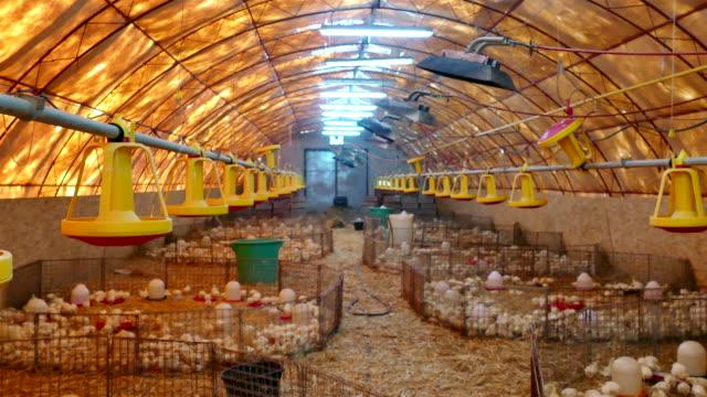 Farm for fattening turkeys video