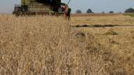 farm harvester combine work in oat field at summertime. FullHD video