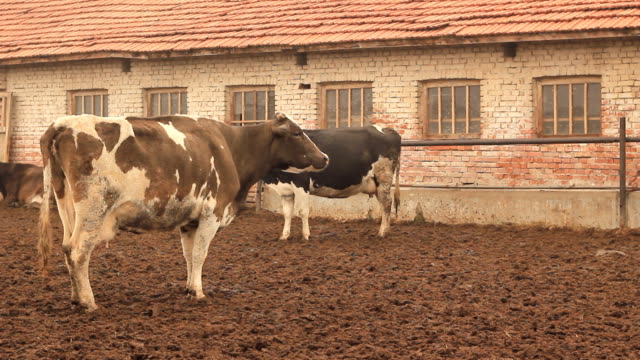 farm with cows video