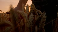SLO MO Farmer Caressing The Wheat video