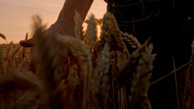 SLO MO Farmer Caressing The Wheat video