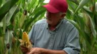 Farmer checking corn in the field video