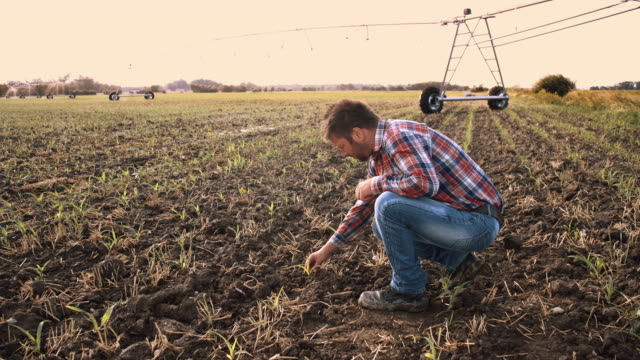 DS Farmer checking corn plants on the field video