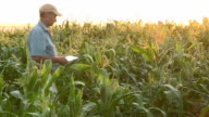 Farmer checking progress of corn fields with digital tablet,South Africa video