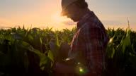 MS Farmer Checking The Corn Plants video