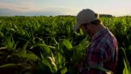 MS CS Farmer Checking The Corn Plants video