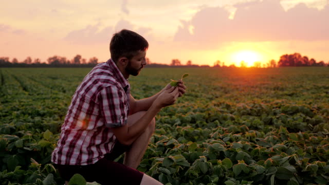 Farmer Checking the Field Soy, Examines Leaves video